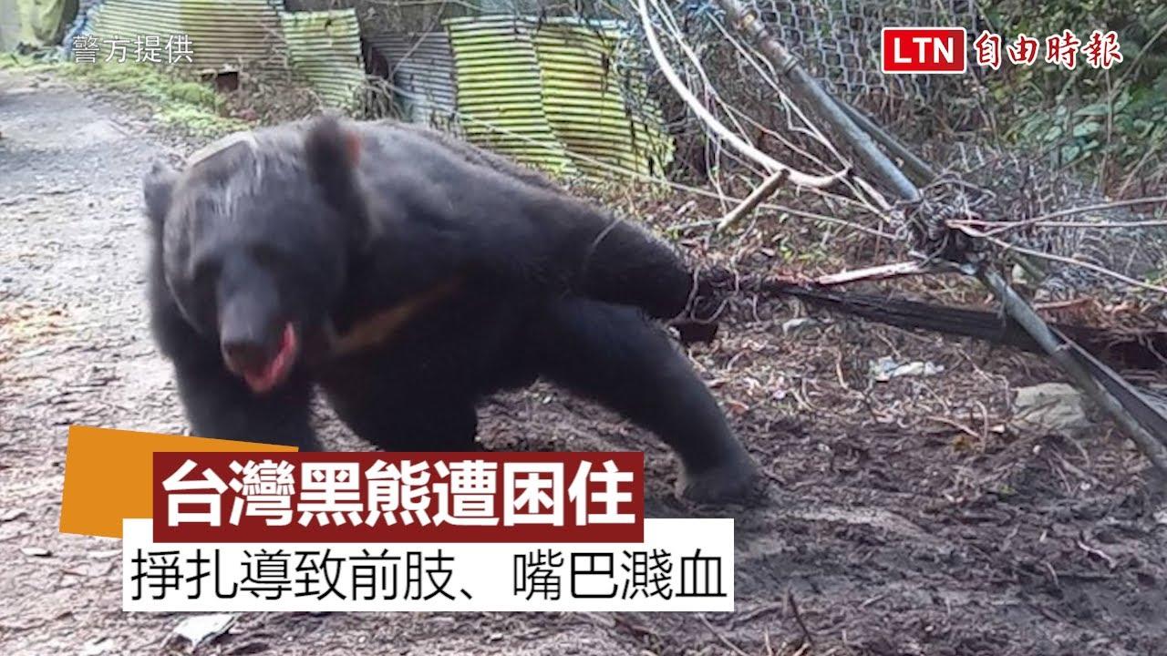 悲慘! 台灣黑熊遭台中果農「山豬吊」困住 前肢、嘴巴濺血(警方提供)