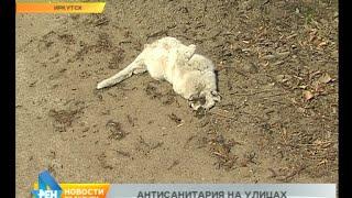 Защита города от инфекции, или Кто в Иркутске сейчас убирает с улиц трупы животных?