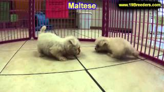 Maltese, Puppies, For, Sale, In, Indianapolis, Indiana, In, Valparaiso, Goshen, Westfield, Merrillvi