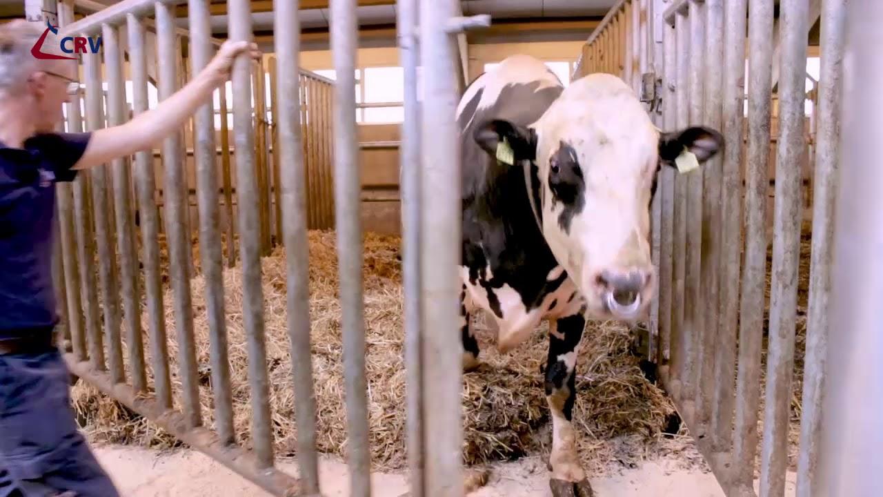 Vijfsterrenhotel voor CRV-stieren