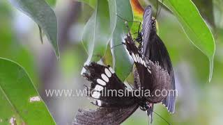 Common Mormon Swallowtail Butterfly pair mating