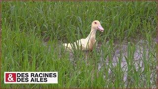Le riz de Camargue cultiv par des canards
