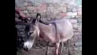 Repeat youtube video sindhi man with donkey