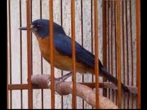Master kicau burung tledekan suara jernih // Nembak rapat, ayoo silahkan cobaaa....!!