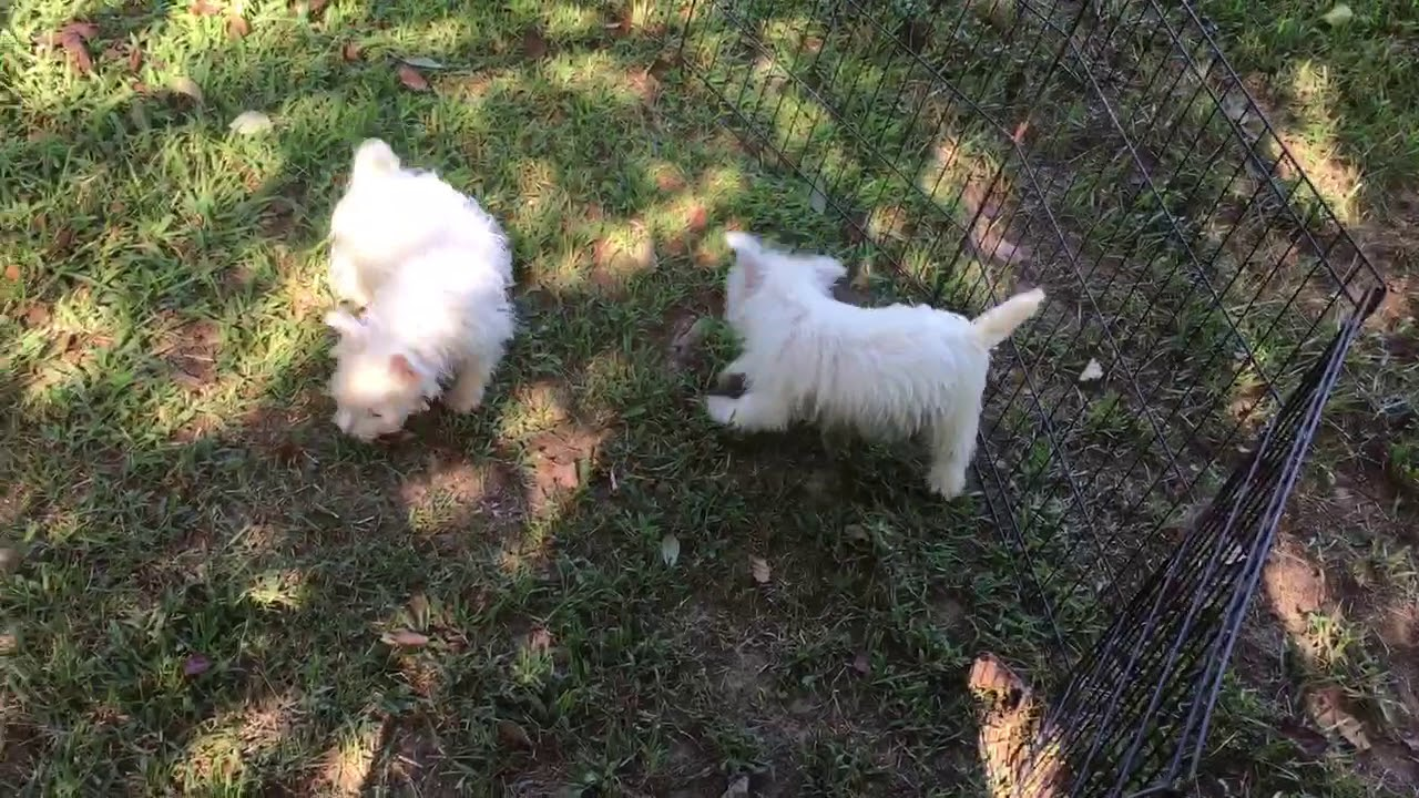 West Highland White Terrier - Westie Puppies for Sale from Reputable