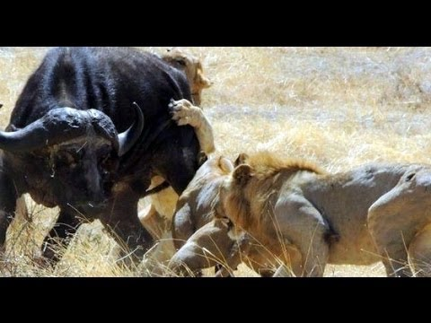 Crater Lions Of Ngorongoro - African Animals [Nature/Wildlife Documentary]