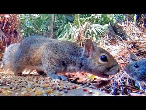 Squirrel Meets Rat