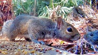 Squirrel Meets Rat!