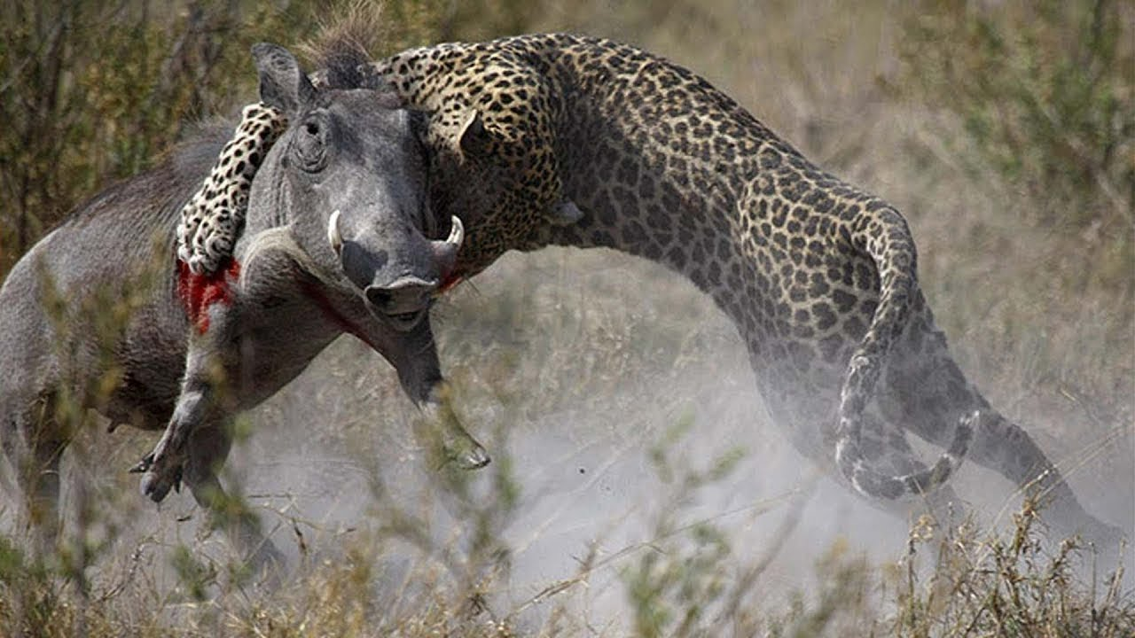 Animals attack - Leopard attacks Ostrich, eagle and warthog - Leopards fights