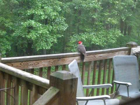 Pileated Woodpecker on deck - surprise ending!!