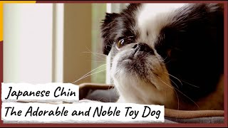 Japanese Chin – The Adorable and Noble Toy Dog