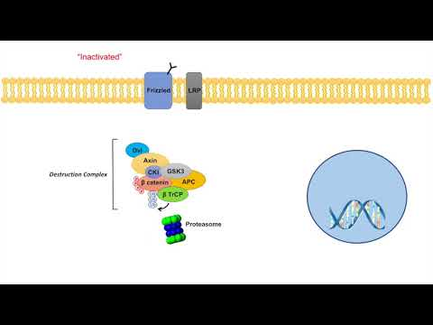 Wnt/β-Catenin Signaling Pathway | Overview, Purpose and APC Mutations