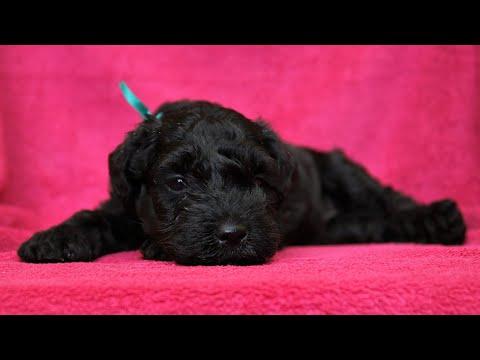 Kerry blue terrier: first two months/Керри блю терьер: первые два месяца