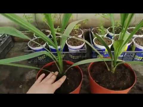 Финиковая пальма из косточки: пересадка молодых растений