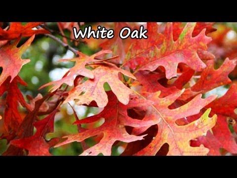 *Plant White Oak Trees* +Quercus alba+Wildlife Deer+Large Acorns+
