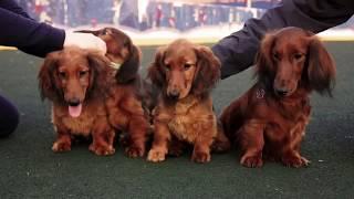 Щенки длинношерстной таксы _ Longhaired Standard Dacshund Puppies
