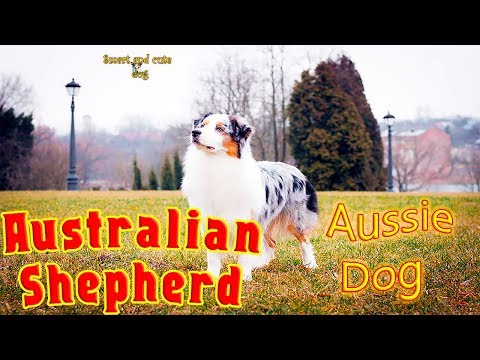 Australian Shepherd plays well in the frisbee and catches the bubbles with his mouth. Compilation