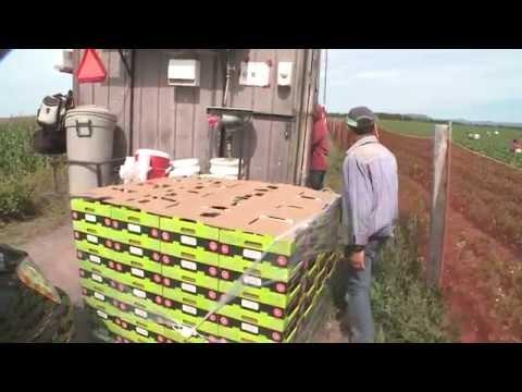 2015 - La Voie Agricole #4   La production de fraises