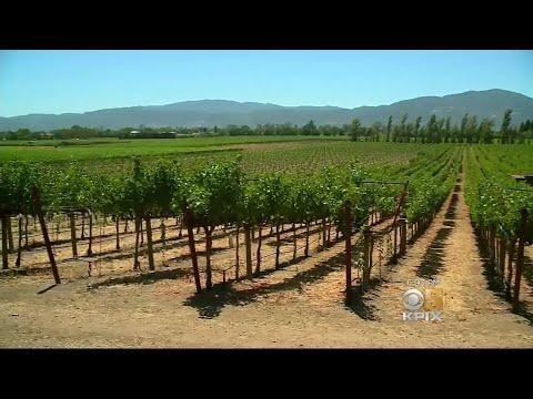 Growers Face Worker Shortage as Wine Harvest Begins