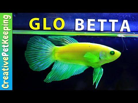 IS MY GLO BETTA BLIND!? 😮 GloFish® Fluorescent Betta Fish