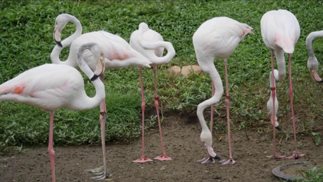 Flock of beautiful flamingos in natural environment - YouTube