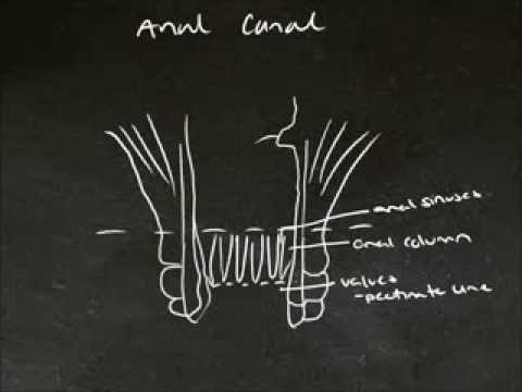 Tutes Online - The Rectum and Anal Canal from YouTube · Duration:  16 minutes 59 seconds