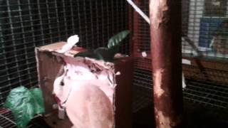 ringneck dove cage how to get ringnecks to nest