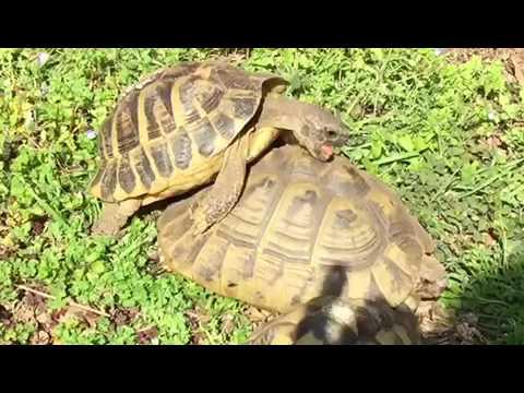 Tartaruga sesso video