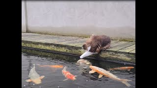 Cats Daily Visit To The Koi Pond (Cute)