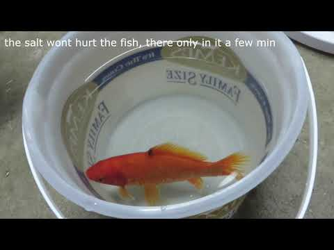 Goldfish Salt Bath Treatment And Some Other Stuff