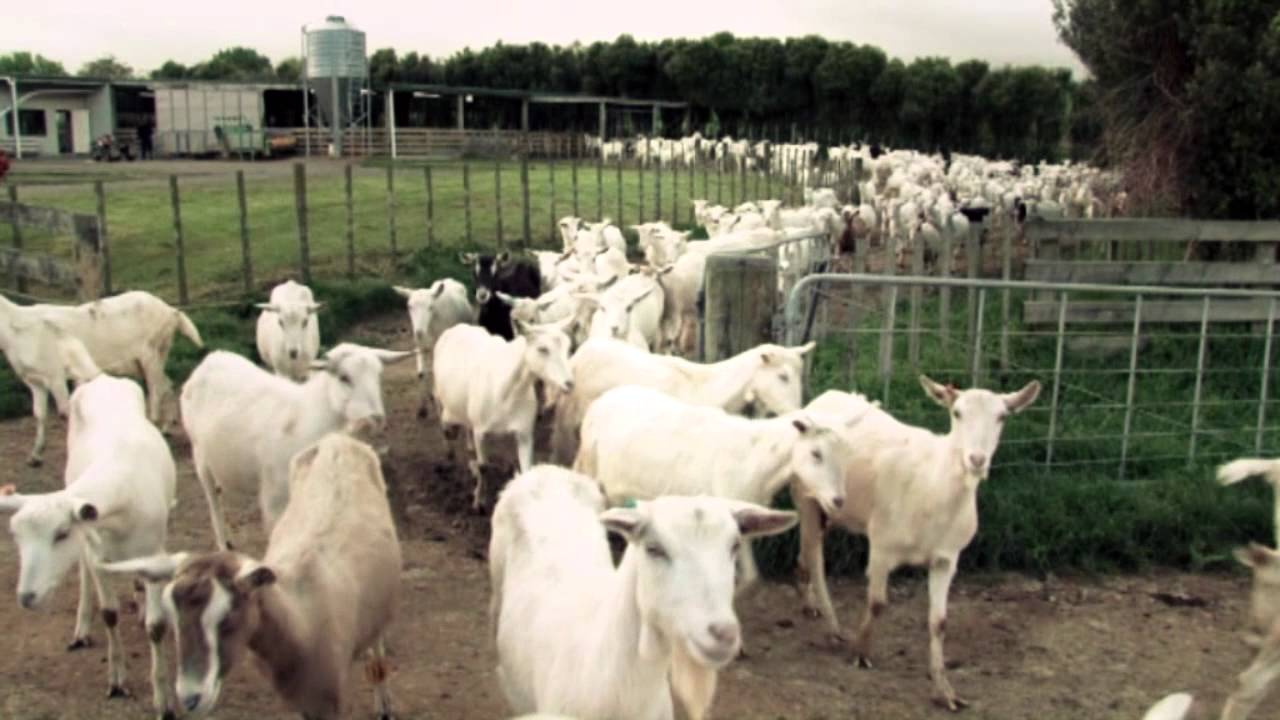 Dairy Goat Co-operative NZ (ltd)