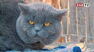 Гигантского кота-манула хозяйке приюта выдали за британского котенка