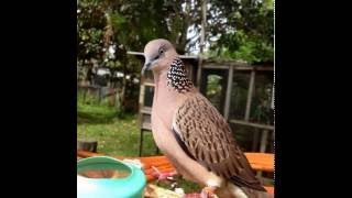 Tiếng chim cu gáy tập bổi mới