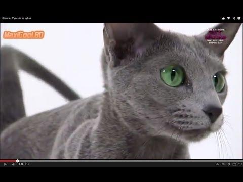 Русская голубая: продажа котят русской голубой, купить