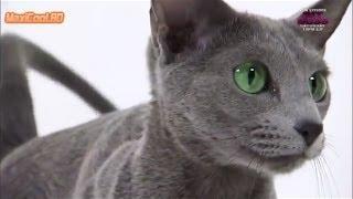 Русская голубая кошка на канале Animal Planet