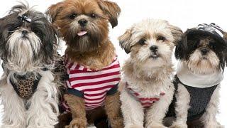 Одежда для собак своими руками выкройки! Футболка для собаки! Собака выкройка