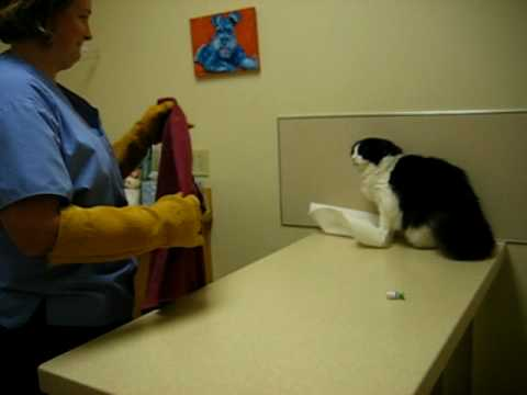 Psycho Cat Beats Up On Vet