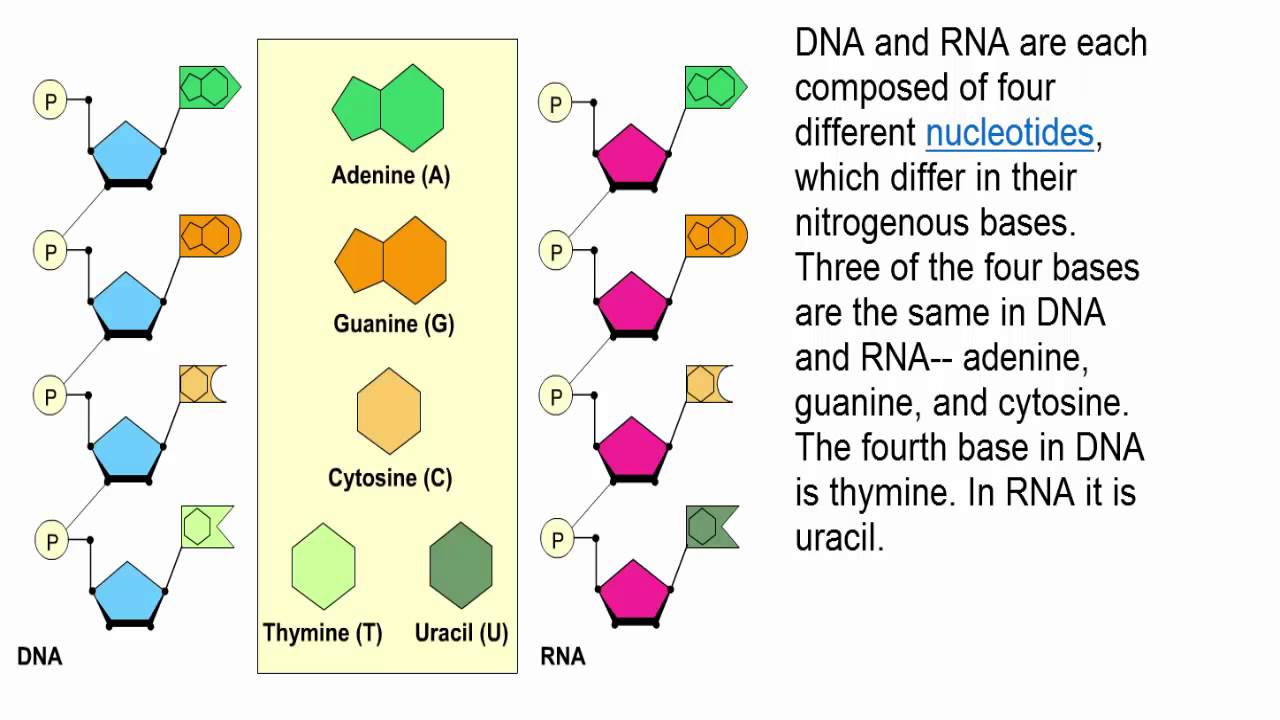 DNA and RNA Structure - YouTube