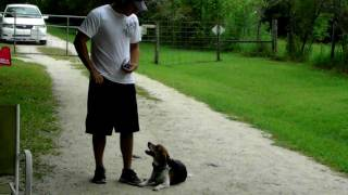Beagle Dallas Dogtra E Collar Pager Obedience Training