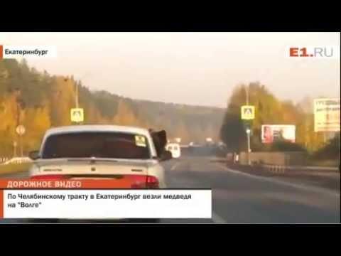 Медведь ехал на заднем сиденье автомобиля и сосал человеческую руку в Екатеринбурге