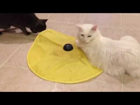 Turkish Angora & Russian Blue Play With Cat's Meow