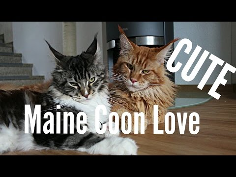 Maine Coon Cat LOVE