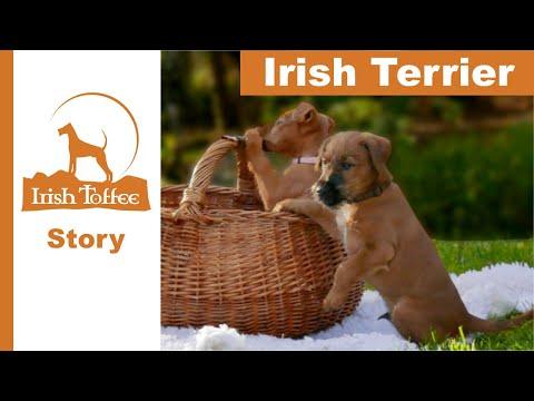 Kleine Irish Terrier! Ausflug in den Wald mit Picknick.