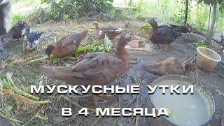 Мускусные утки в 4 месяца
