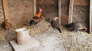 Beternak Ayam Hutan Sumatera