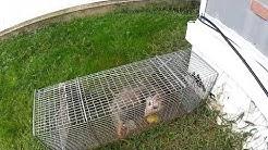 Possum removal in meriden ct