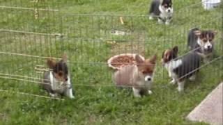 Akc Pembroke Welsh Corgi Pups