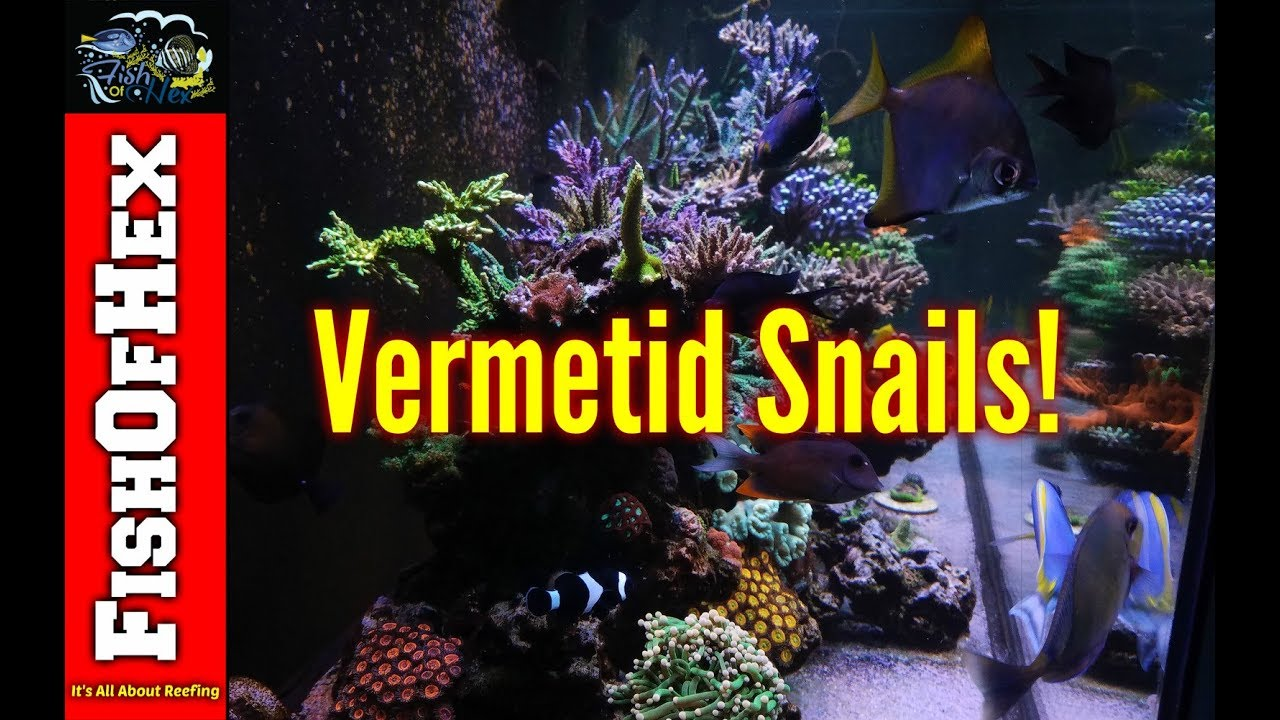 The Dreaded Vermetid Snail And How I Got Them | Now What?