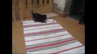Yorkshire Terrier Mata Rata Del Ikea