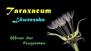 Loewenzahn (Taraxacum) Oeffnen der Flugsamen (HD 720p Time lapse)